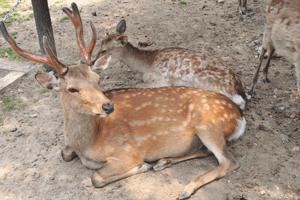 図 東大寺参道の鹿